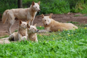 Pariah dog pack (Copyright Istock photo).