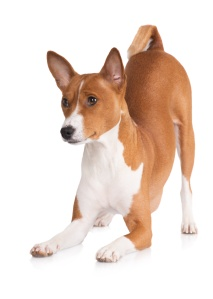basenji dog bowing down (Copyright Dollar Photo Club)