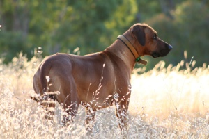 Rhodesian Ridgeback in the hills (Copyright Dollar Photo Club)