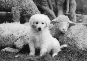 Slovakian Cuvac pup