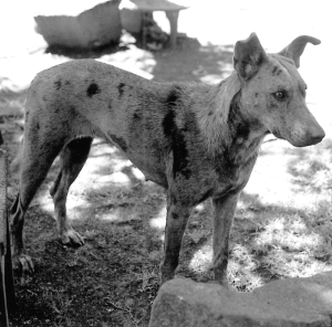 merle african dog