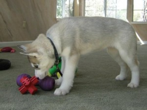 Husky pup with toys