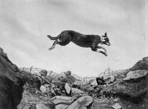 A Beauceron messenger dog leaps over a trench.