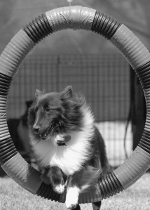 Sheltie - tire