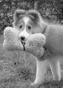 Sheltie with stuffed toy bone