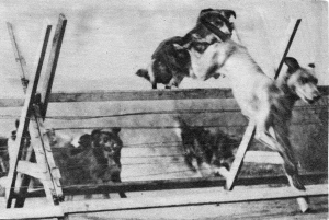 Messenger dogs in training