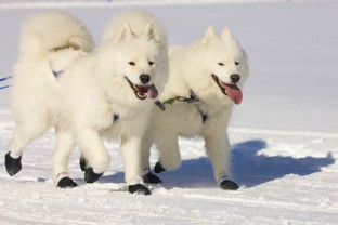 A team of Samoyed dogs wearing booties.