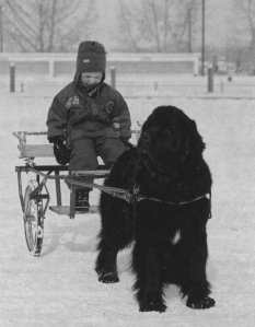 A youngster carting with a Newfoundland dog.