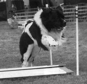 Lanseer Newfoundland competes over the broad jump in an obedience class.