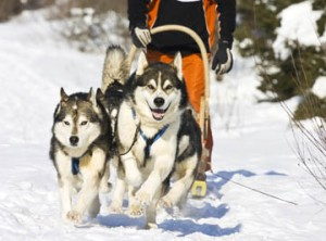 two-dog sled team