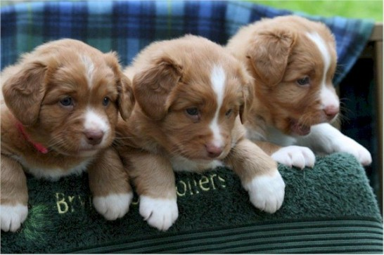 Toller-puppies