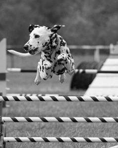 Dalmatians make excellent agility competitors. Photo copyright Christine McHenry.