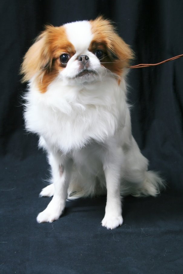 Meet The Japanese Chin Everything Dog At Alpine Publications
