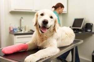 Injured dog at the veterinarian's office. Copyright Monkey Business - Dollar Photo