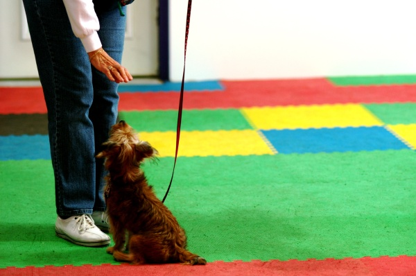 Obedience class. Copyright Vansuydam - Dollar Photo