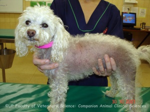 Alopecia areata - Photo Copyright UP Faculty of Veterinary Science: Companion Animal Clinical Science