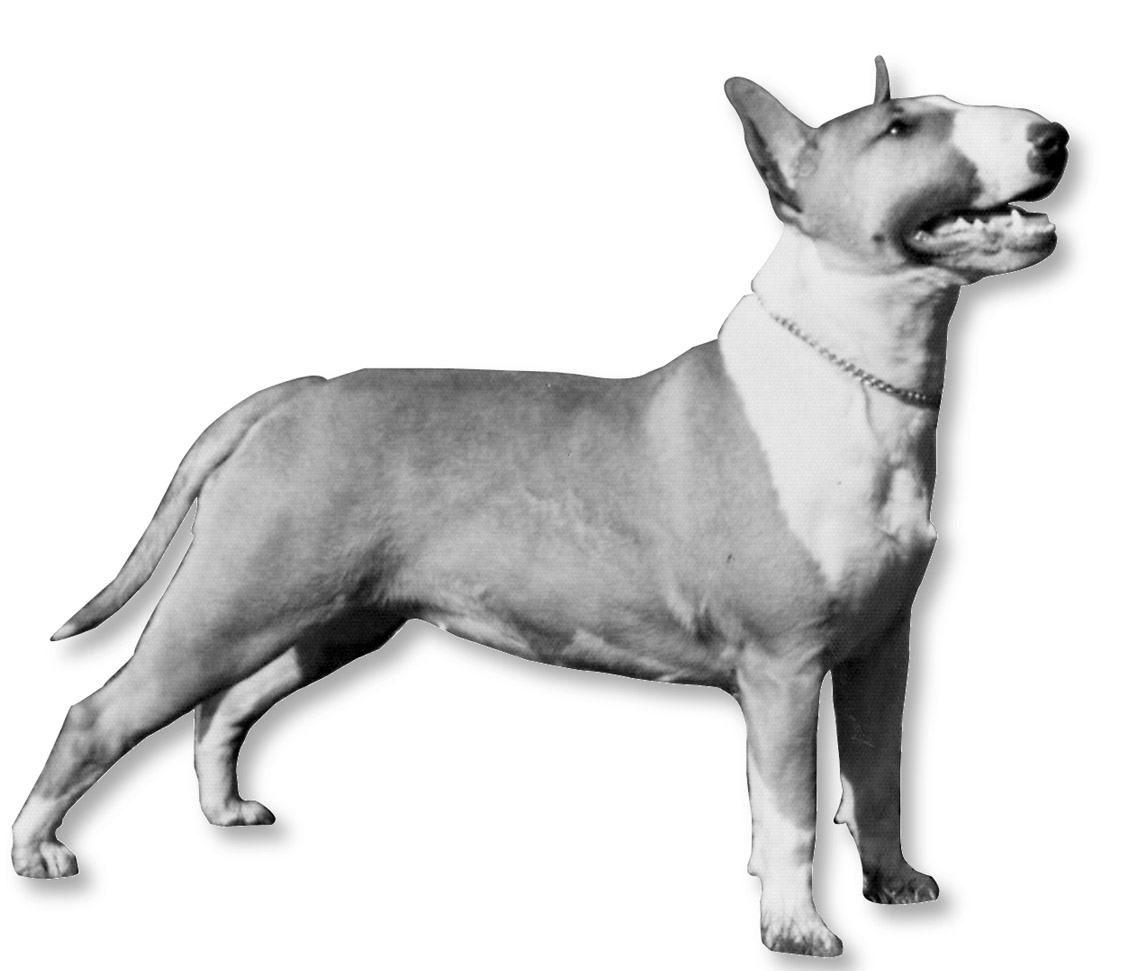 bull terriers are not pit bulls everything dog at alpine