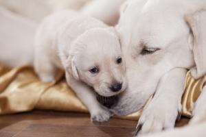 white labrador retriever mother with puppy