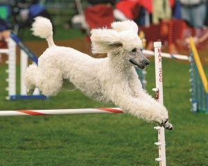 Poodle going over jump. Photo by M. Nicole Fischer.