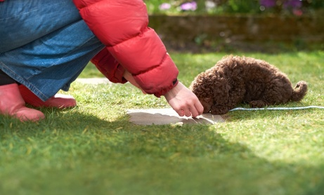 Lead and clicker training for a miniature poodle puppy in the garden.