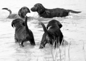4.Lab pups play retrieve in the water