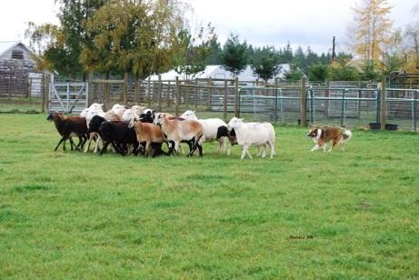 English Shepherd with sheep