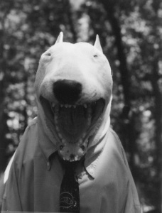 Bull Terrier open mouth