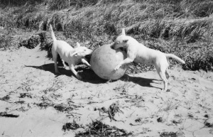 Bull Terriers playing with big ball