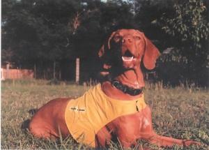 vizsla-rescue-dog