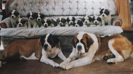Lasquite St Bernards in BC. She graded the litter right. The sire shown here was Best of Winners at our National Specialty and one of the puppies which she kept was Best of Breed at the National a few years later.